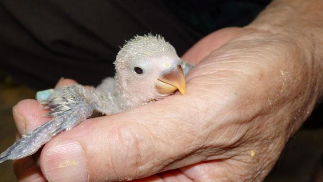 福岡県手乗りインコ小鳥販売店ペットミッキンのかわいいコザクラインコのヒナが仲間入りしました。