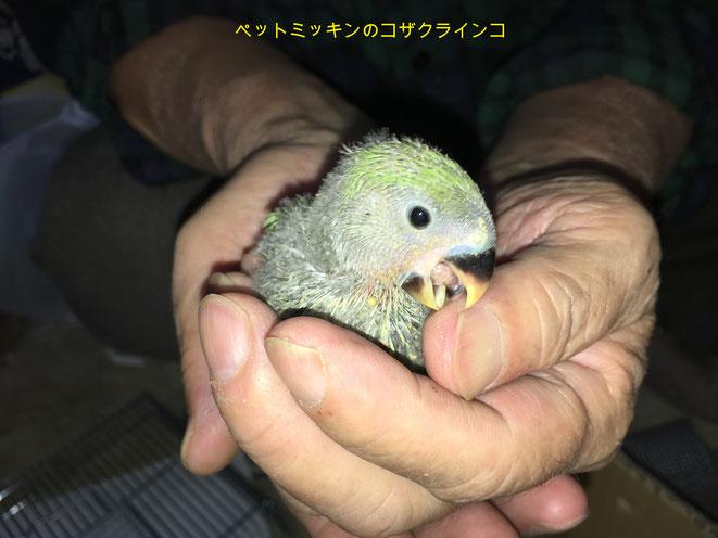 福岡県手乗りインコ小鳥販売店ペットミッキン 手乗りコザクラインコのヒナがが仲間入りしました。