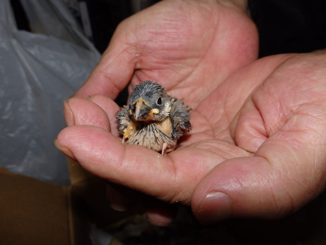 福岡県手乗りインコ小鳥販売店ペットミッキン 手乗り文鳥のヒナが仲間入りしました。