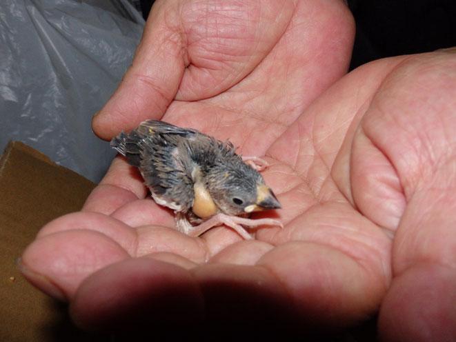 福岡県手乗りインコ小鳥販売店ペットミッキン 手乗り桜文鳥のヒナが仲間入りしました。