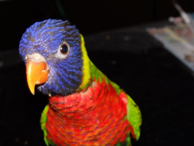 福岡県手乗りインコ小鳥販売店ペットミッキン ゴシキセイガイインコのヒナが仲間入りしました。