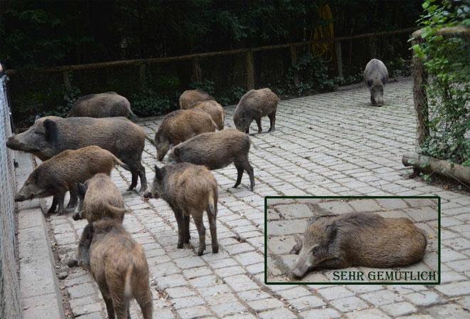 die Wildschweine in ihrem Gehege