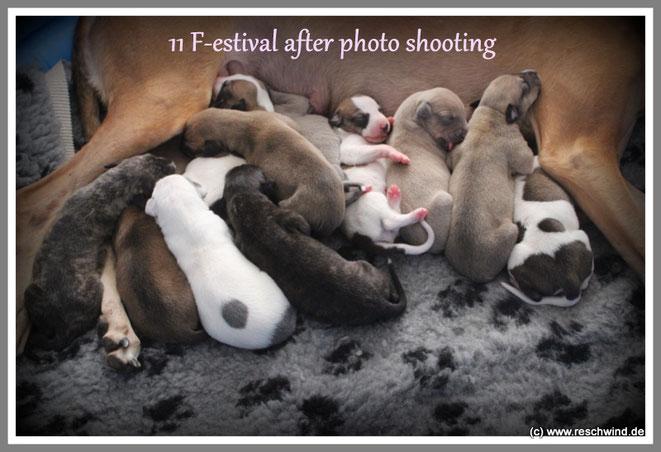 11 kleine Greyhounds