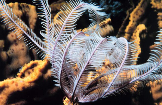 Seelilie Südsee
