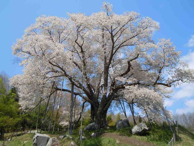 古殿町 越代の桜