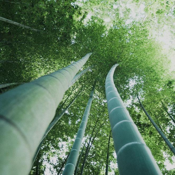 たけのこ、竹林の成長ぶりは今年も