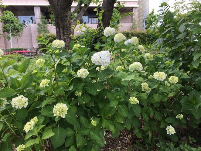 上野の公園で紫陽花