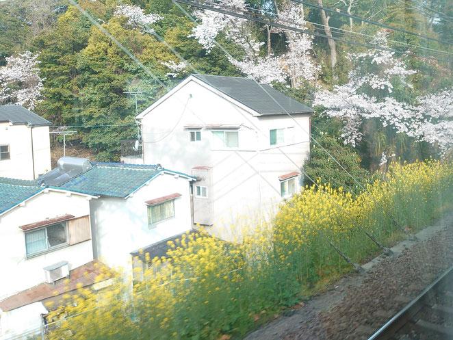 車窓からの桜と菜の花