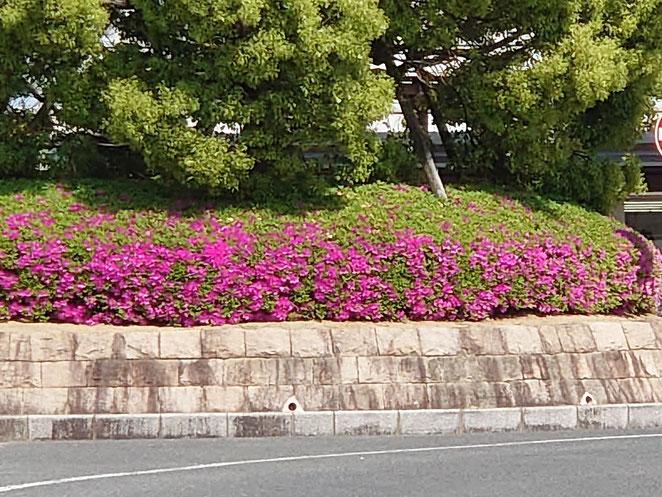 近鉄八木駅前のツツジ