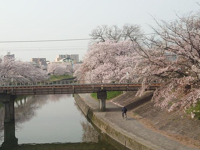 高田川の桜