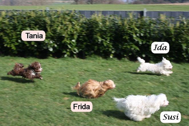 Fliegende Hunde beim spielen