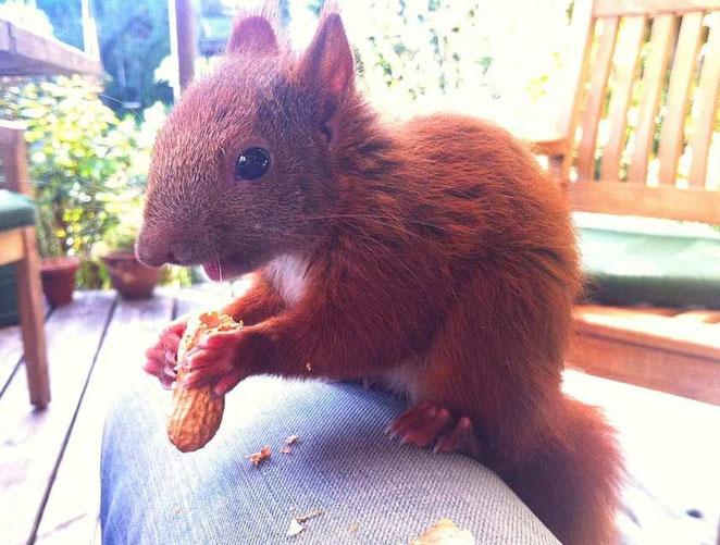 Bild: Eichhörnchen mit Erdnuss / by develloppa