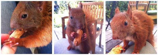Bild: neugieriges Eichhörnchen Erdnuss knabbernd / by develloppa