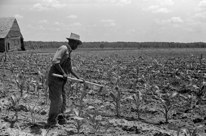 Hoeing Corn - Farm Security Administration