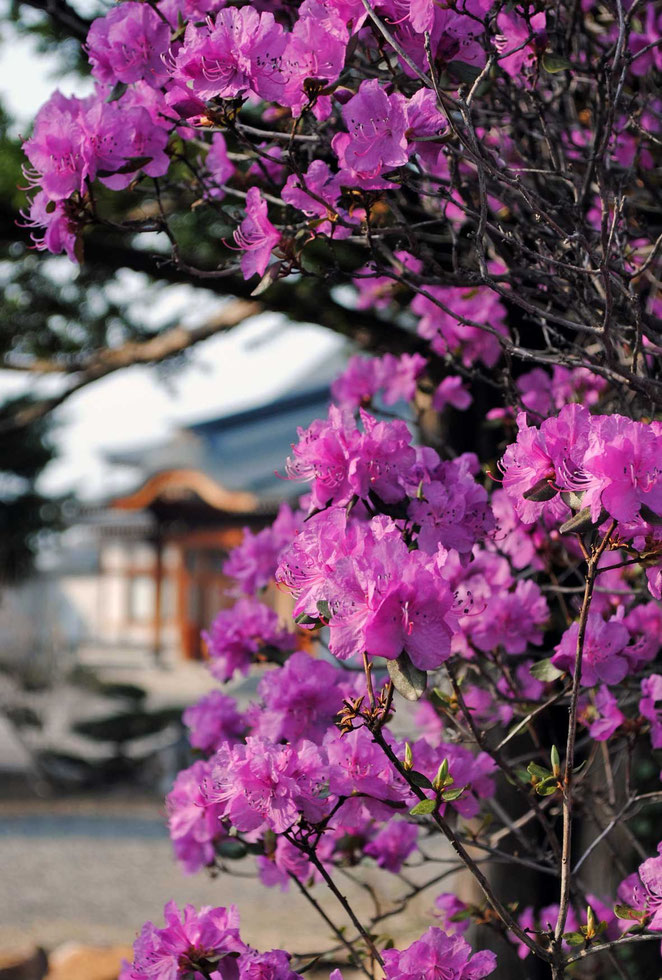 蝦夷紫つつじ