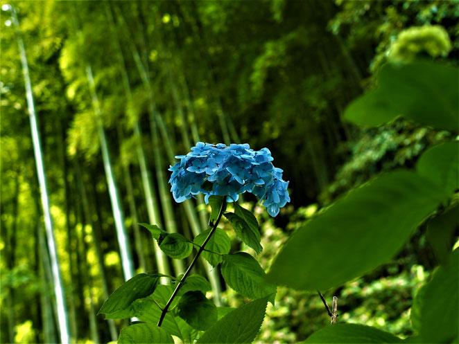 あじさい鍼灸マッサージ治療院 明月院の紫陽花