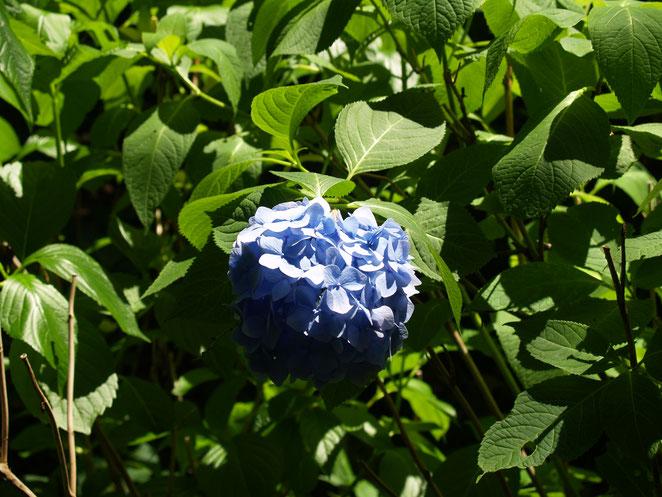 あじさい鍼灸マッサージ治療院 陽にあたる紫陽花