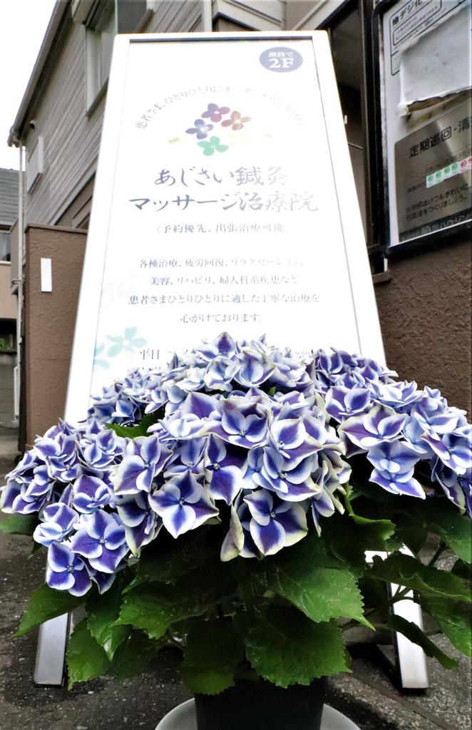 あじさい鍼灸マッサージ治療院 6周年の紫陽花と看板