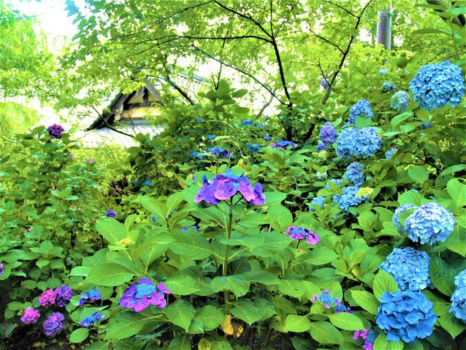あじさい鍼灸マッサージ治療院 葛岡原神社の紫陽花