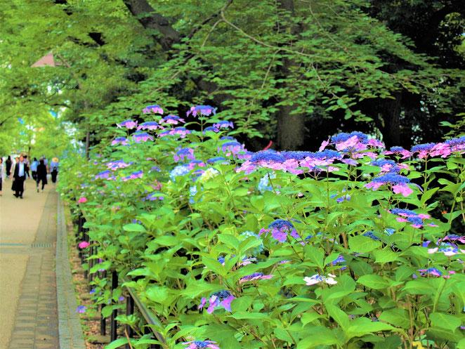 あじさい鍼灸マッサージ治療院 上野恩賜公園の紫陽花