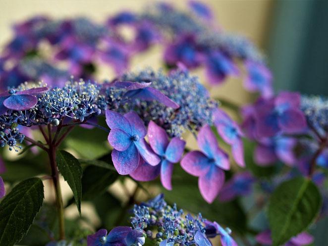 あじさい鍼灸マッサージ治療院 藍姫(紫陽花)