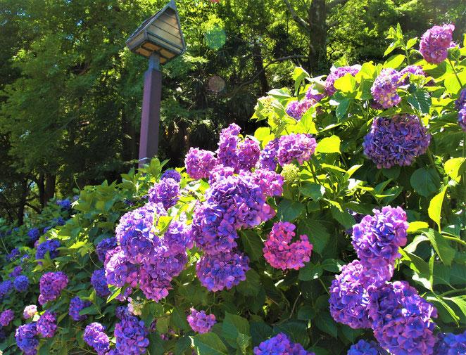 あじさい鍼灸マッサージ治療院 北区の紫陽花