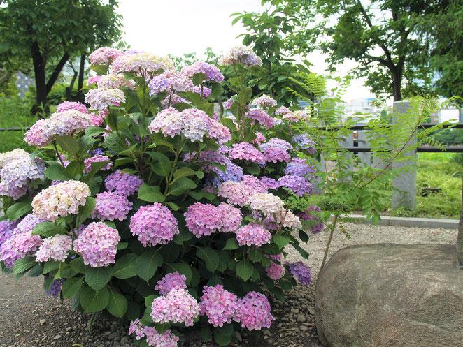 あじさい鍼灸マッサージ治療院 不忍池の紫陽花