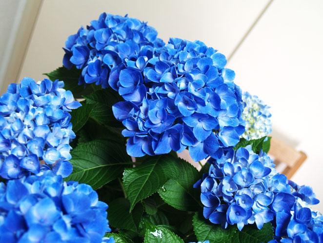 あじさい鍼灸マッサージ治療院 青い紫陽花