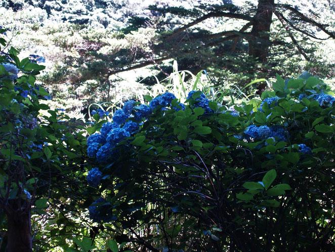 あじさい鍼灸マッサージ治療院 山道に咲く紫陽花