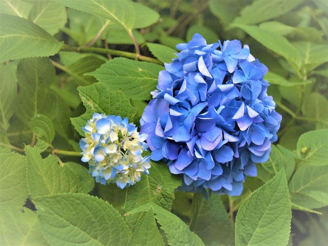 あじさい鍼灸マッサージ治療院 大きさの異なる紫陽花