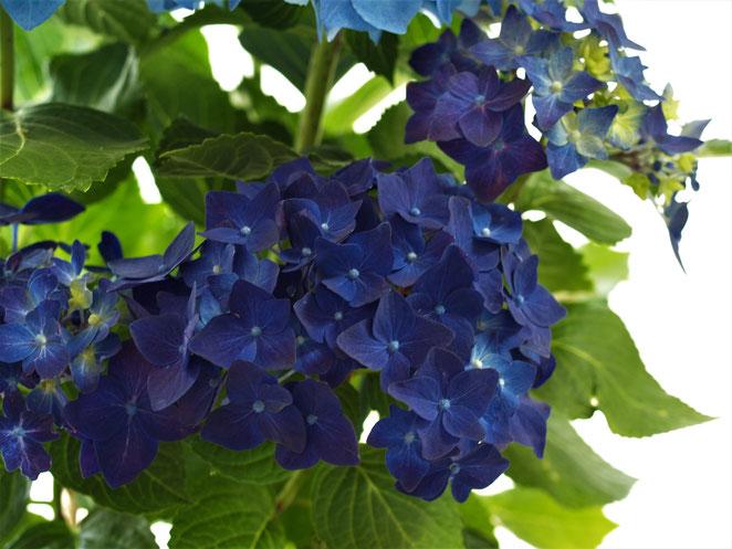 あじさい鍼灸マッサージ治療院 5周年の紫陽花
