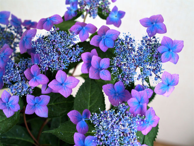あじさい鍼灸マッサージ治療院 4周年記念の紫陽花「藍姫」