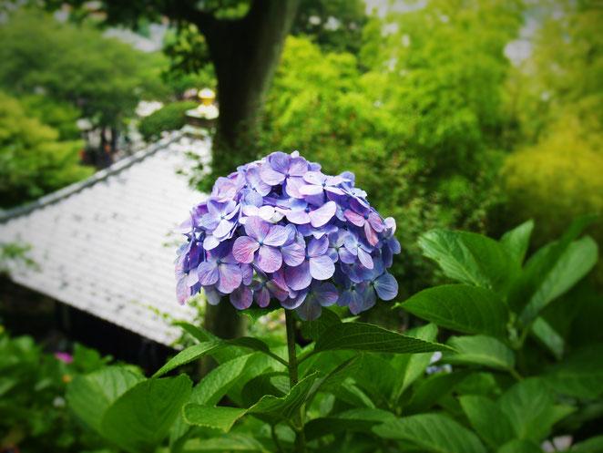 鎌倉長谷寺の紫陽花。
