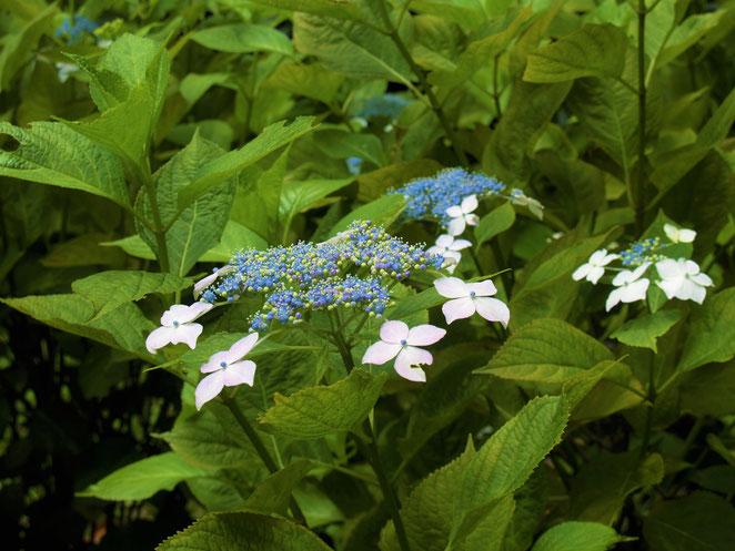あじさい鍼灸マッサージ治療院 新宿御苑の紫陽花