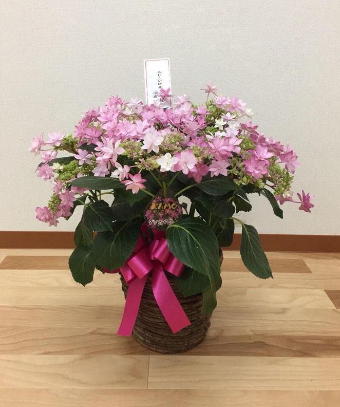 あじさい鍼灸マッサージ治療院 ダンスパーティーという品種の紫陽花を贈りました