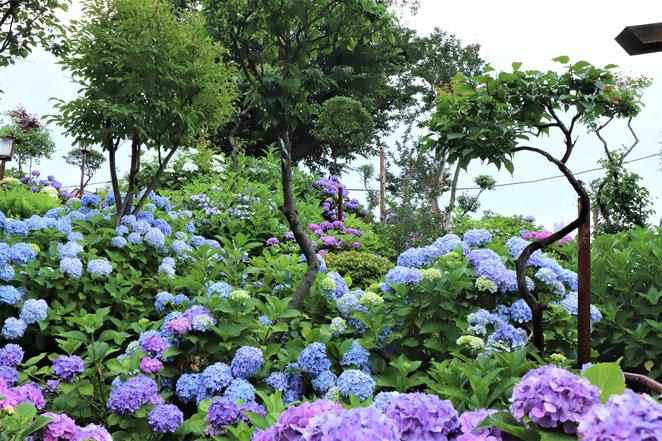 あじさい鍼灸マッサージ治療院 白山神社古墳 紫陽花の山