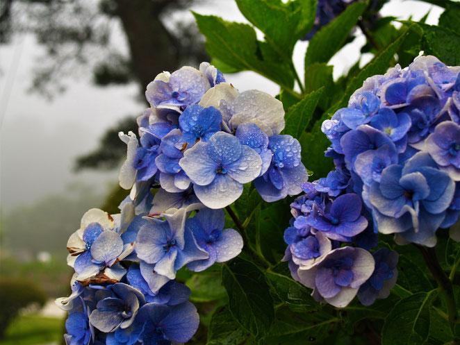 あじさい鍼灸マッサージ治療院 雨に濡れた紫陽花
