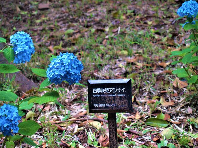 あじさい鍼灸マッサージ治療院 上野恩賜公園 四季咲姫アジサイ