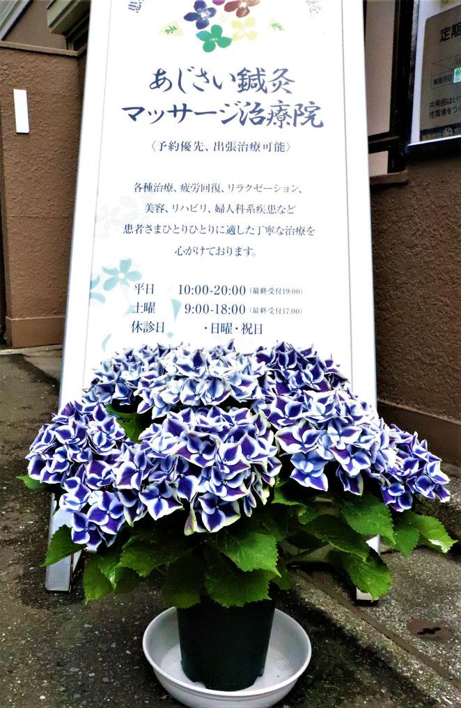 あじさい鍼灸マッサージ治療院 6周年記念の紫陽花と看板