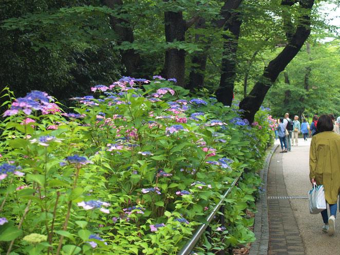 あじさい鍼灸マッサージ治療院 上野恩賜公園の紫陽花 2019年撮影