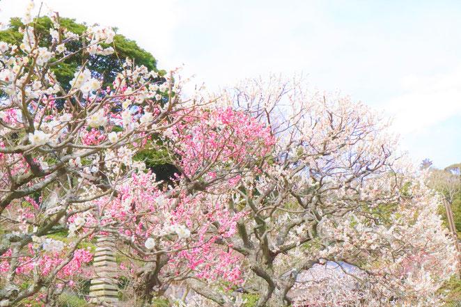 あじさい鍼灸マッサージ治療院 梅の花