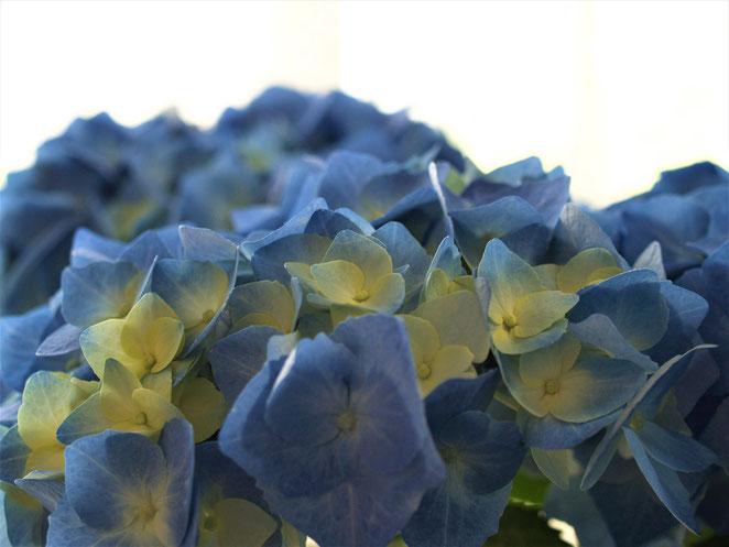 あじさい鍼灸マッサージ治療院 青の紫陽花
