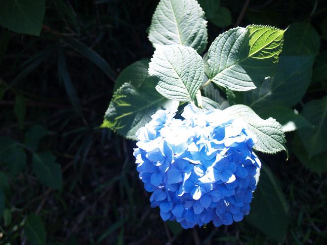 あじさい鍼灸マッサージ治療院 光にあたる紫陽花