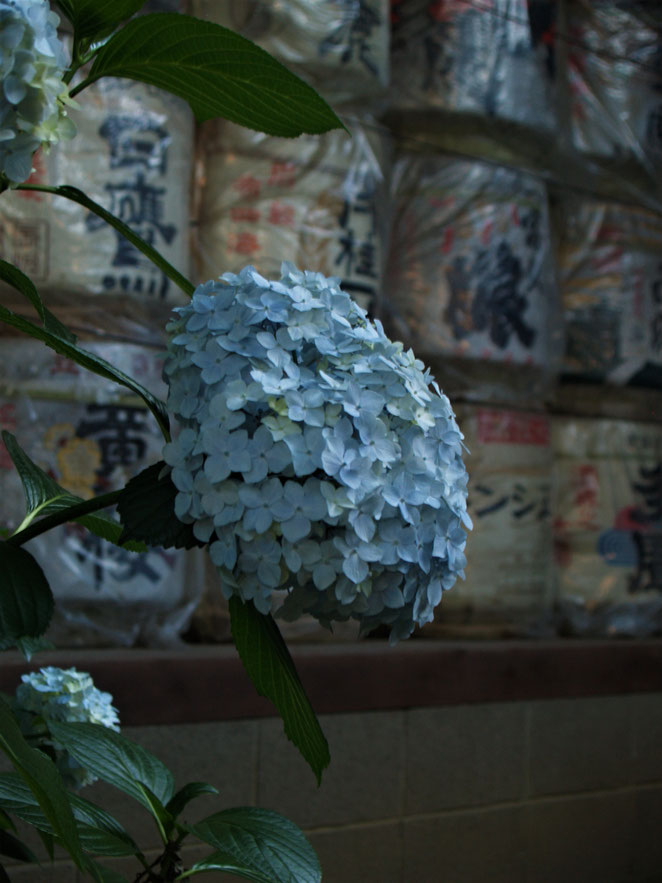 あじさい鍼灸マッサージ治療院 白山神社の紫陽花