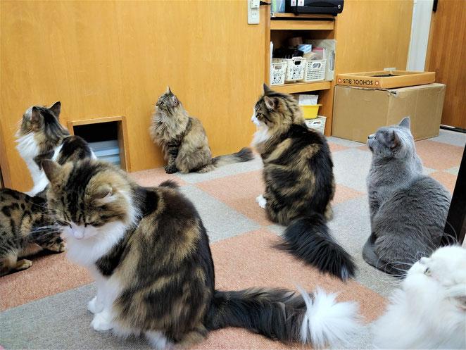 あじさい鍼灸マッサージ治療院 猫カフェ猫大勢