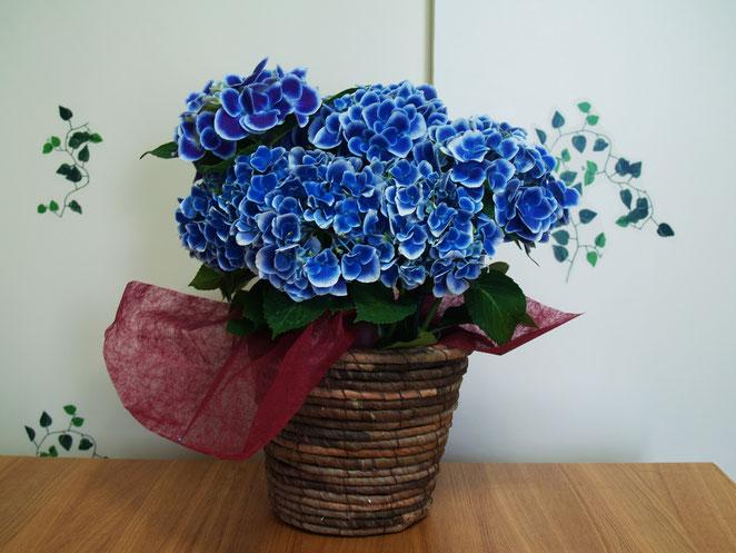 あじさい鍼灸マッサージ治療院 2周年記念の紫陽花