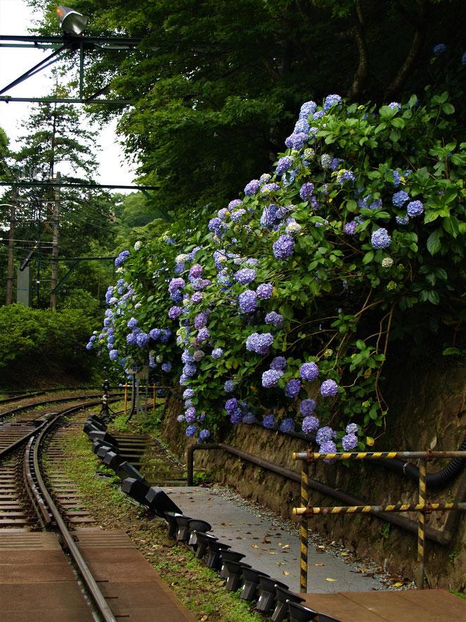 あじさい鍼灸マッサージ治療院 登山鉄道の紫陽花