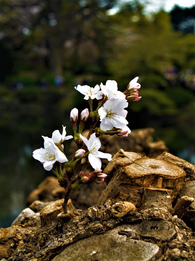 あじさい鍼灸マッサージ治療院 芽吹いた桜