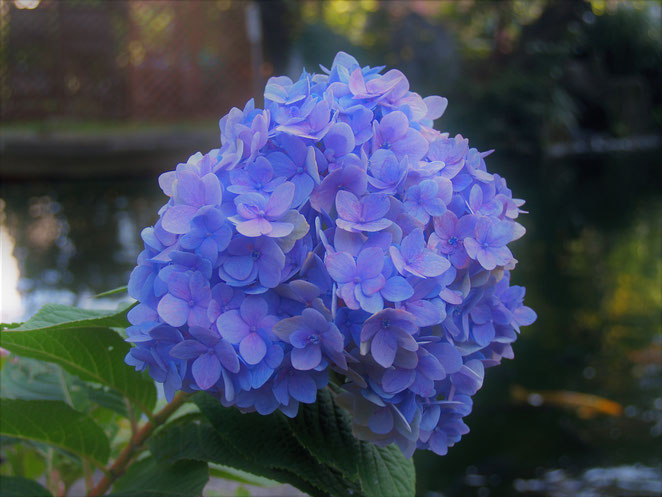 あじさい鍼灸マッサージ治療院 愛宕神社の紫陽花