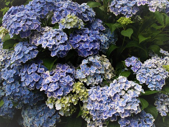 あじさい鍼灸マッサージ治療院 紫陽花の群れ